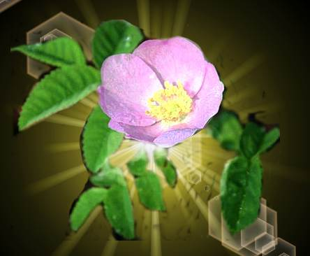 Wild rose of Temagami